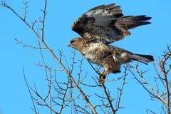 Intentos comunes de un halcón a volar imágenes de archivo libres de regalías