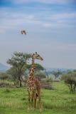 Interés enarbolado de una jirafa Imagen de archivo libre de regalías