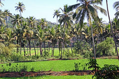 Inter Crop of Paddy and Coconut. Cultivation in Goa, India Royalty Free Stock Images