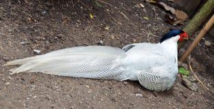 Intera immagine dell'uccello del fagiano d'argento Fotografia Stock Libera da Diritti