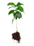 Intera pianta dell'arabica del caffè con le radici isolate Fotografia Stock