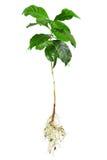 Intera pianta dell'arabica del caffè isolata su bianco immagine stock