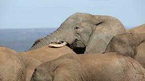 Interacción del elefante africano almacen de video