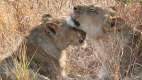 Interacción del león almacen de video