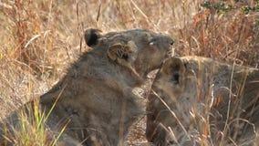 Interacción del león almacen de metraje de vídeo