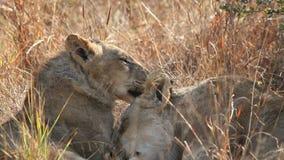 Interacción del león metrajes