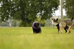 Interacción entre los perros Aspectos del comportamiento de animales Emociones de animales imagenes de archivo