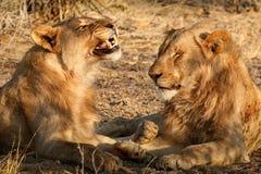 Interacción masculina del león imagen de archivo