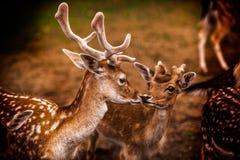 Interactie tussen deers Stock Fotografie