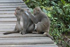 Interactie van twee apen het verzorgen Stock Foto