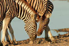 Interacting Zebras Stock Image