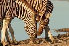 Interacting Zebras Stock Image