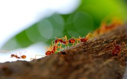 Interaction between ant in ant's colony. Working together in their environment to find food Stock Photography