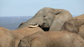 Interaction d'éléphant africain Images libres de droits