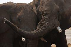 Interaction de famille d'éléphant africain Photographie stock