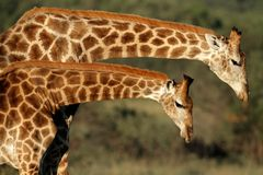 Interaction de giraffe Photographie stock libre de droits