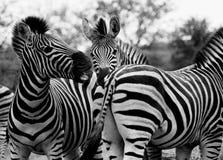 Interaction de l'Afrique du Sud de zèbre jouant le blanc noir Photographie stock libre de droits