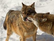 Interaction de loup Photographie stock libre de droits