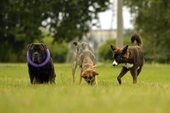 Interaction entre les chiens Aspects comportementaux des animaux Émotions des animaux images libres de droits
