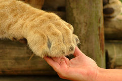 Interaction - hand and lion paw Royalty Free Stock Photography