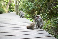 Interaction of monkey mother and son  grooming Royalty Free Stock Photo