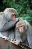 Interaction of two monkeys grooming. Grooming behavior is a important interaction of monkeys Royalty Free Stock Images