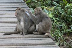 Interaction of two monkeys grooming Stock Photo