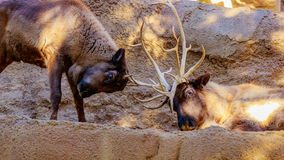 Interactive Reindeers Stock Image