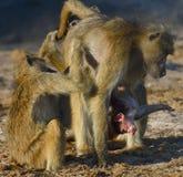 Interazione della famiglia del babbuino Fotografia Stock Libera da Diritti