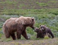 Interazione della famiglia dell'orso grigio Fotografia Stock Libera da Diritti