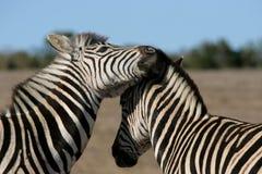 Interazione della zebra Immagini Stock Libere da Diritti