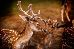 Interazione fra i cervi Fotografia Stock