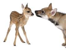 Interazione fra il Fawn dei cervi di uova ed il lupo del Eurasian Fotografia Stock Libera da Diritti