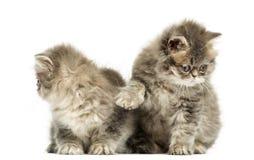 Interazione persiana dei gattini, vecchio 10 settimane, isolata Immagine Stock