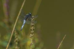 Intercettore blu (fulva di Libellula) immagini stock libere da diritti