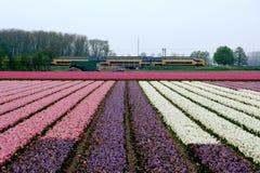 Intercity hastigheter för holländskt drev förbi blommafält i Nederländerna royaltyfria bilder