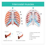 Intercostal muscles human. Illustration info graphic. The Thoracic Cage. The thoracic cage is made up of bones and cartilage along, It consists of the 12 pairs stock illustration