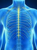 Intercostal nerves Royalty Free Stock Photography