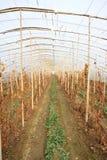 Intercropping da uva da morango Foto de Stock Royalty Free