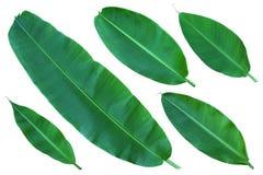 Intere foglie fresche della banana Fotografia Stock
