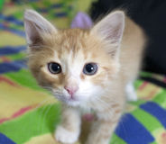 Interes kitten Stock Images