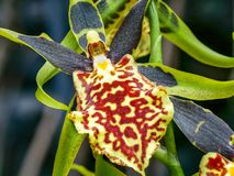Interes w górę barwionej orchidei obrazy royalty free