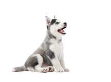 Interessant speels puppy van het Servische schor omhoog kijken Stock Foto's