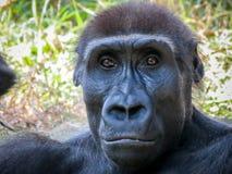 Interessante aap Royalty-vrije Stock Afbeelding