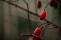 Interessanter Hintergrund und wilde Rosen stockfotografie