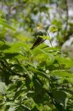 Interessantes Insekt, ähnlich einer Libelle Stockbilder