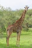 Interesse alzato da una giraffa Fotografia Stock