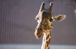 Interessierte Giraffe Lizenzfreie Stockfotos