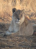 Interest. Lioness interested in something in the distance Royalty Free Stock Photo