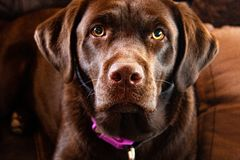 Interested Chocolate Lab royalty free stock image